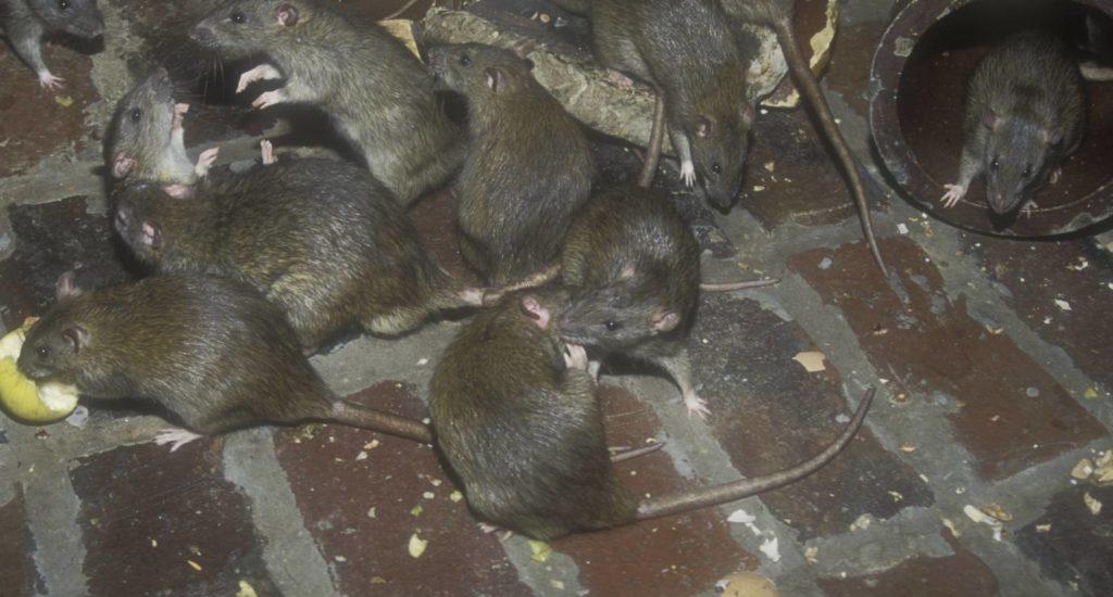 уничтожение крыс в Волхове